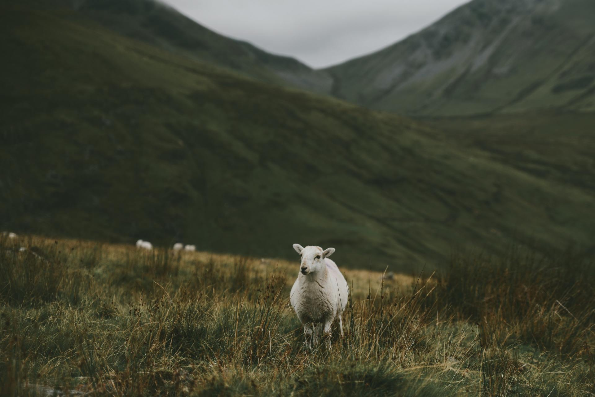 Photo of a sheep in a valley